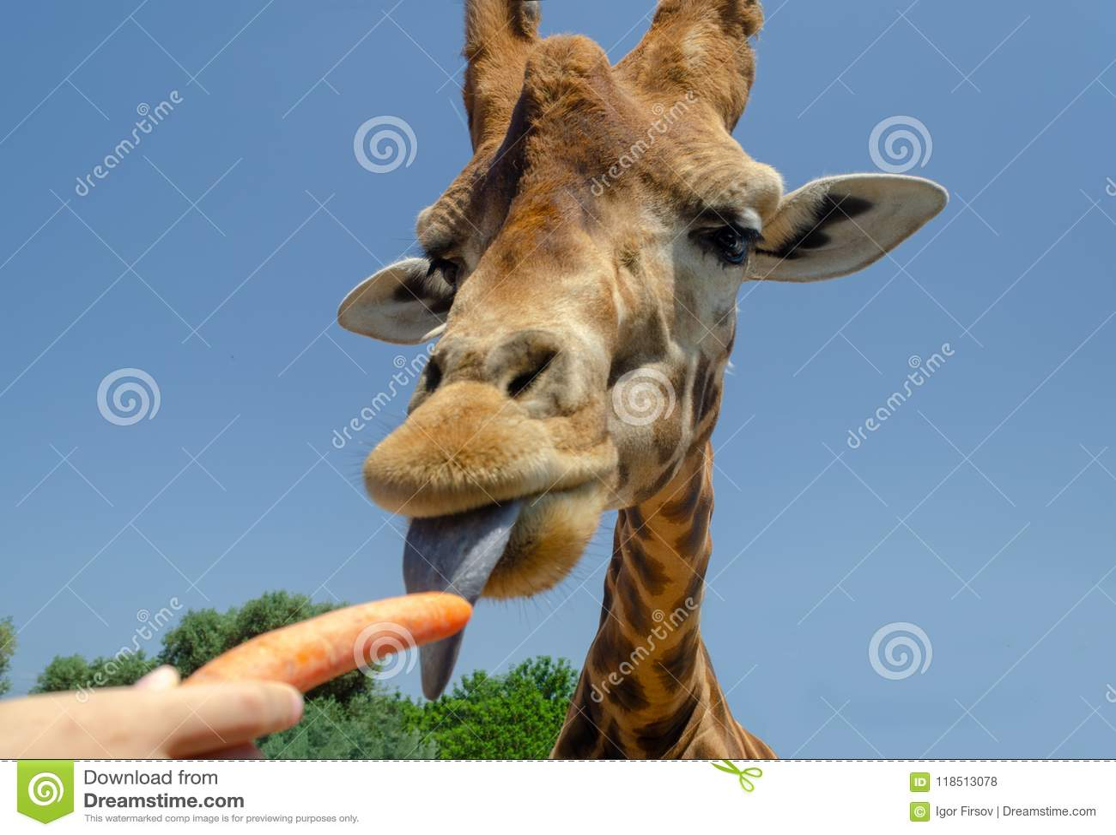 Giraff i zoo Italien för Fasano apuliasafari