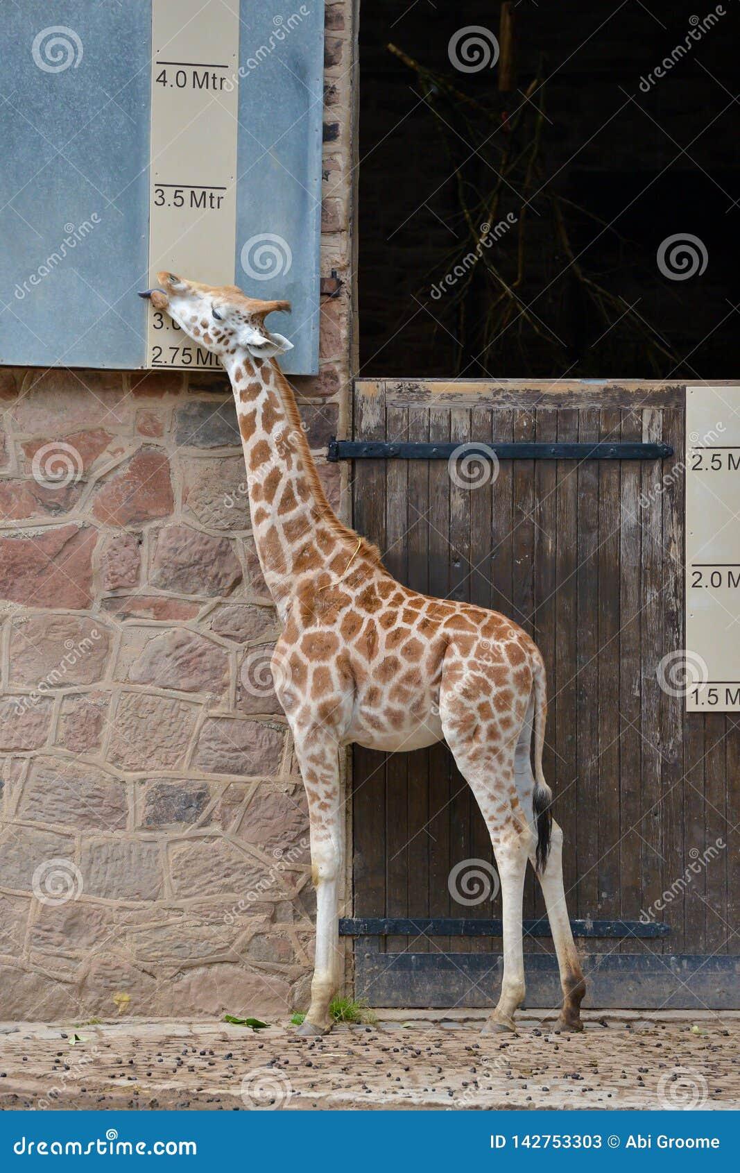 Giraff som mäter sig mot ett höjddiagram på en zoo