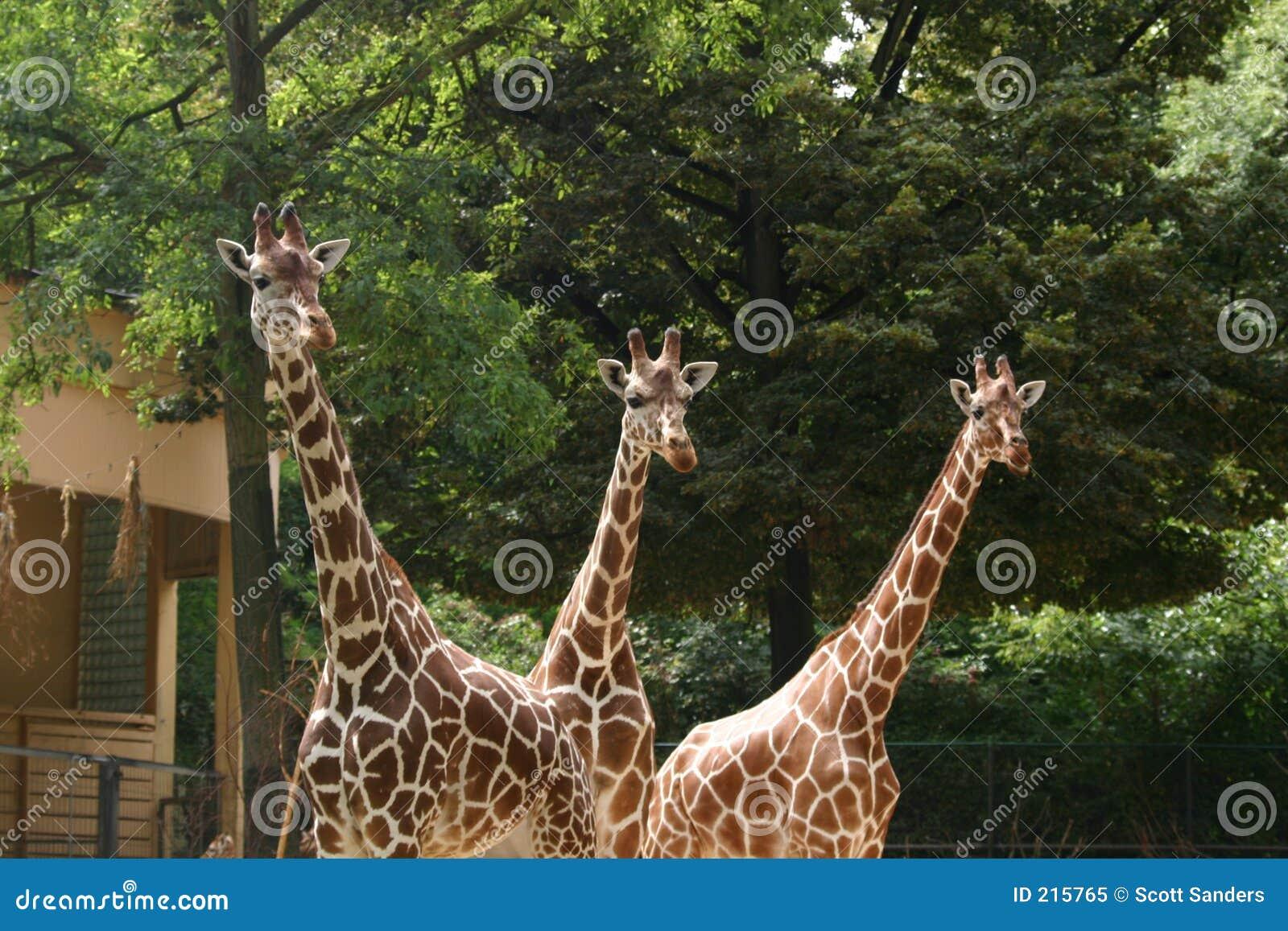 Giraff tre