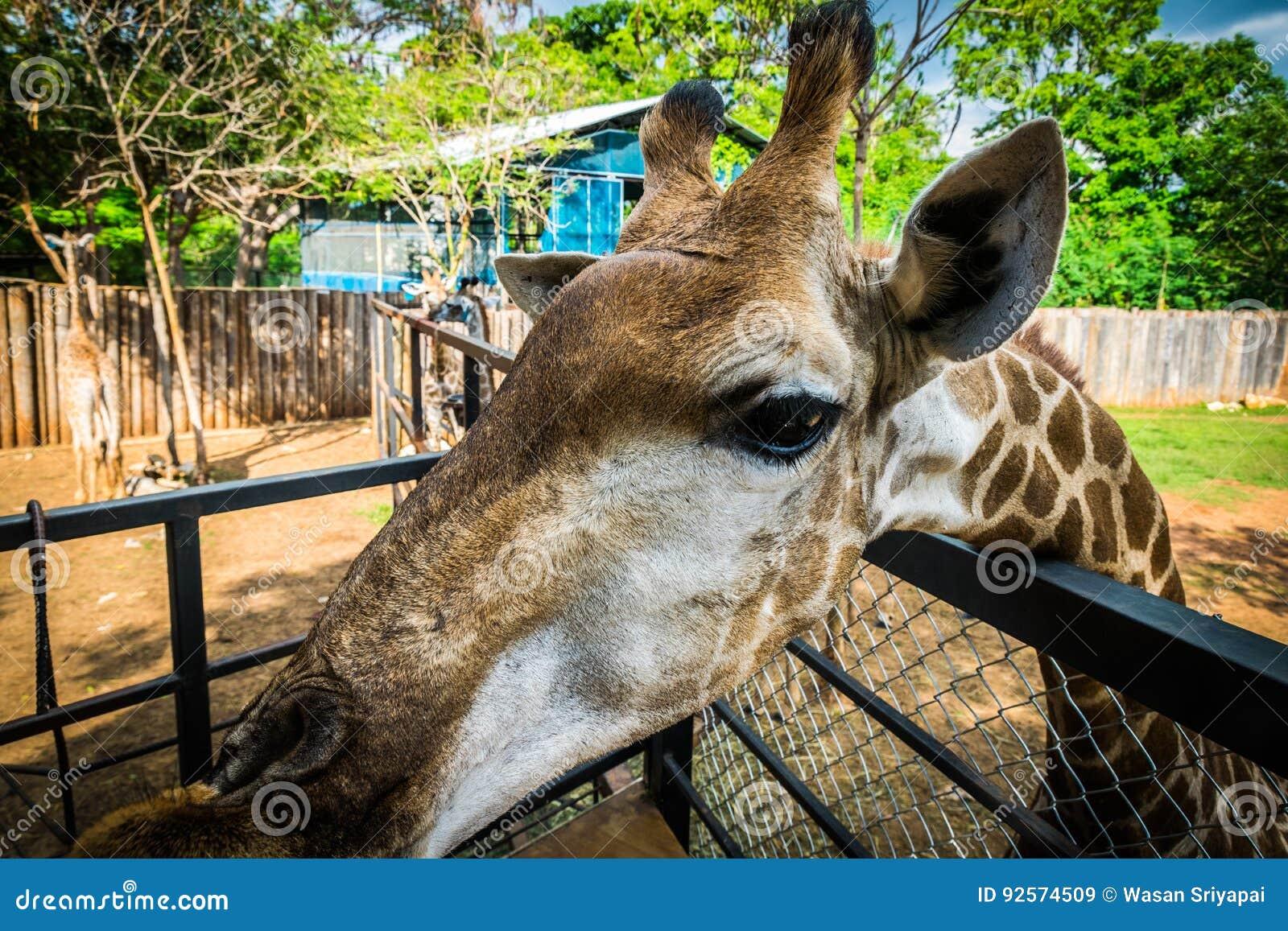 Giraffa allo zoo esotico eccezionale in Tailandia