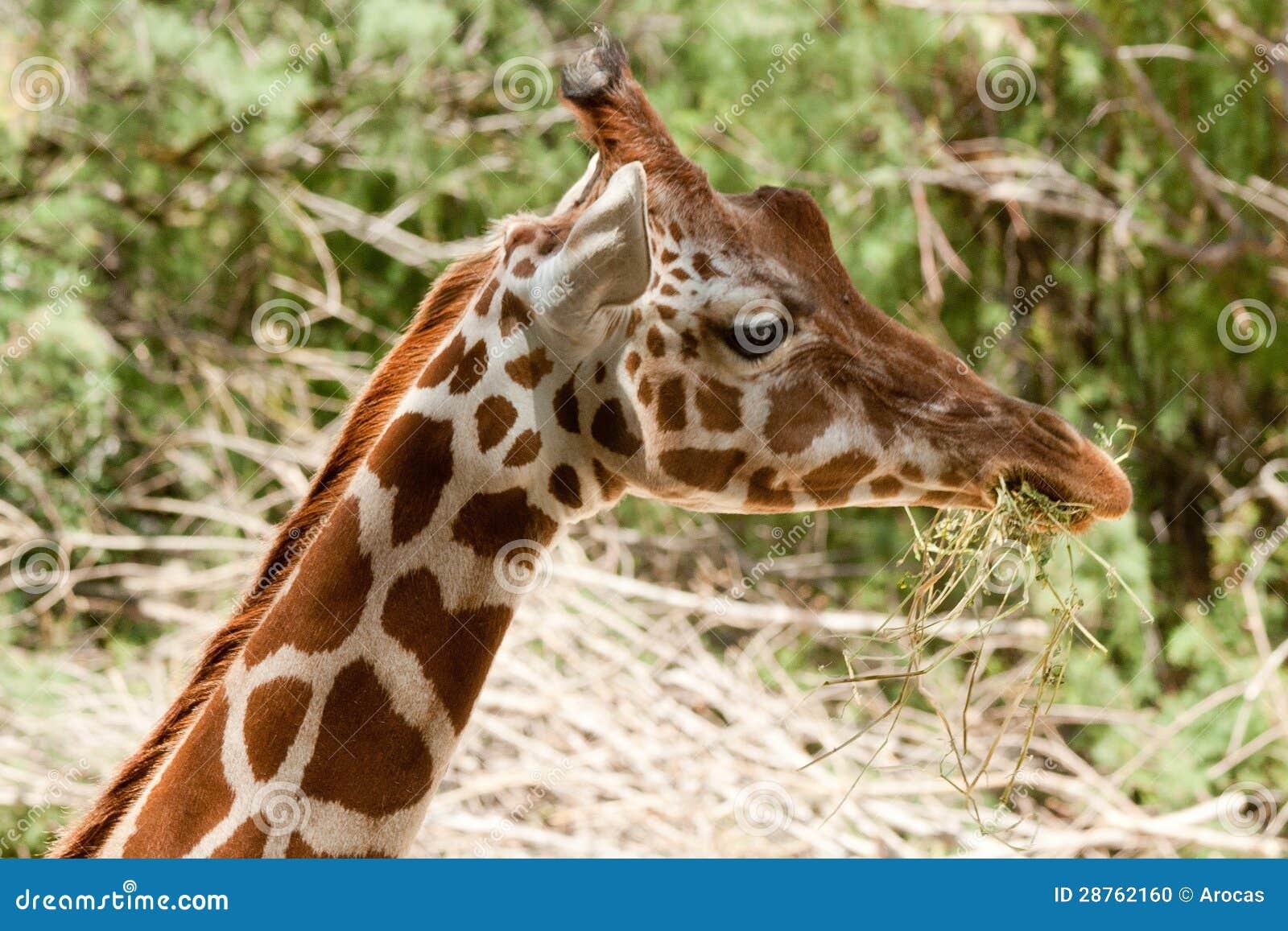 Habitat on web habitat technology group - Giraffa Camelopardalis Peralta Stock Photo Image 28762160