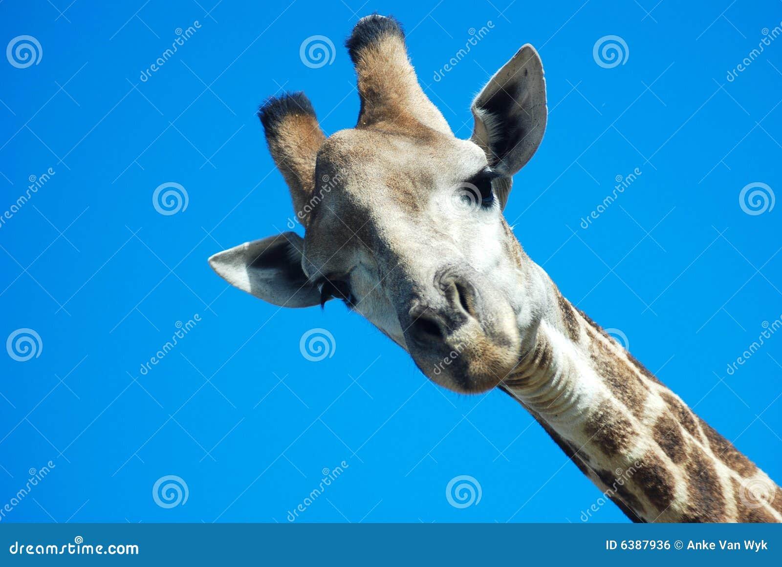 Giraffa che osserva giù