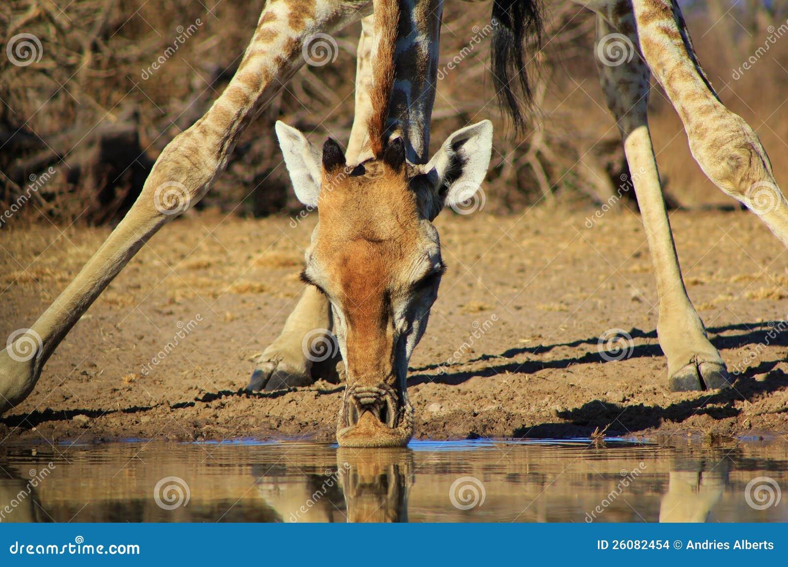 Giraffa - contenere vita