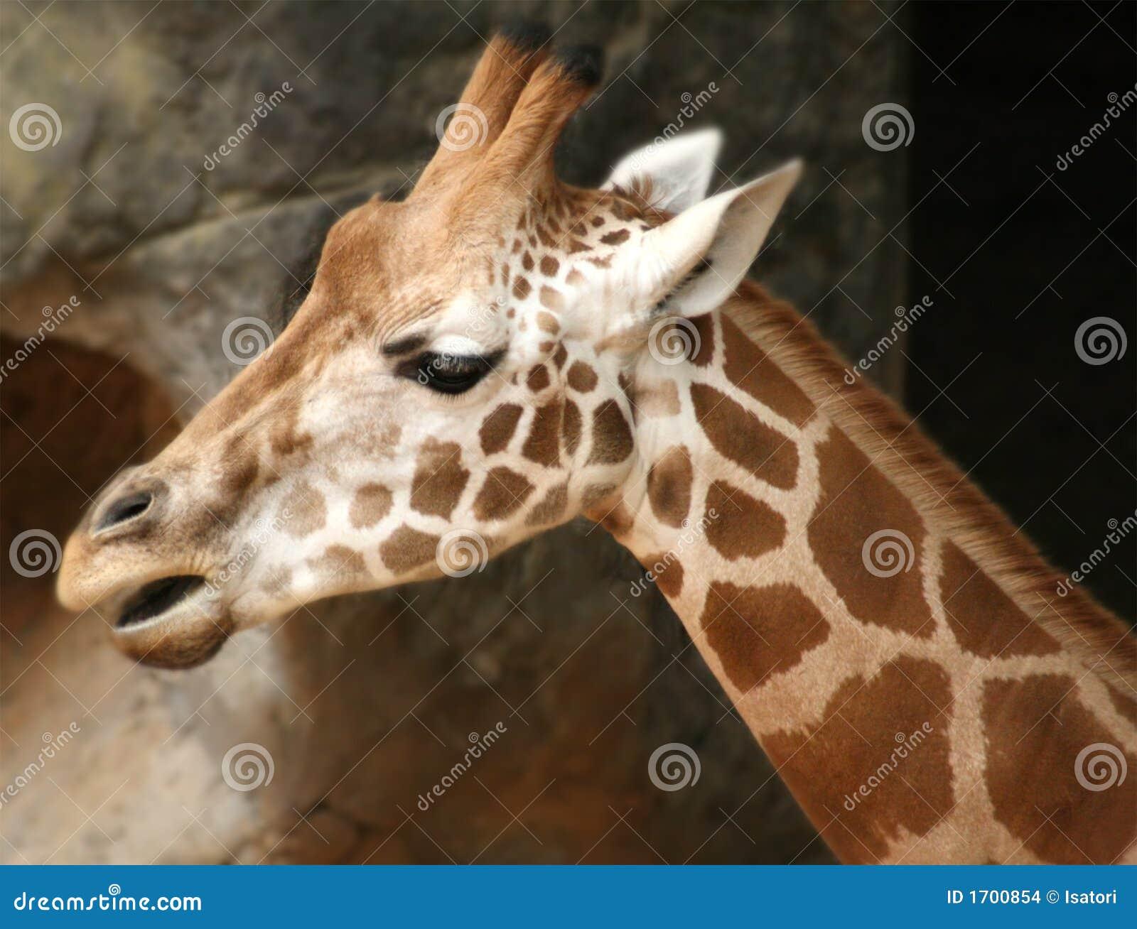 Giraffa del giardino zoologico di Taronga