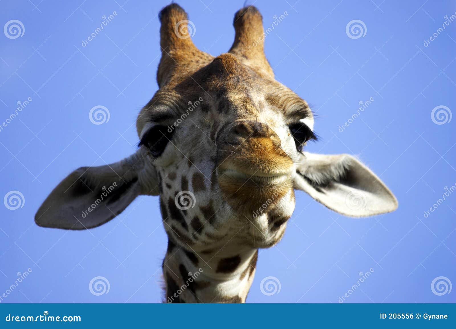 Giraffa sorridente
