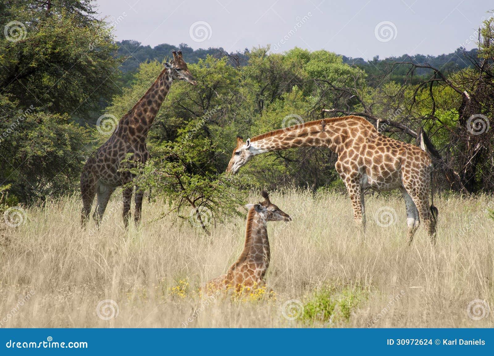 Giraffamilie