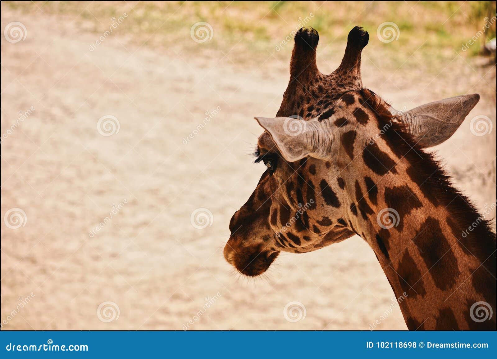 Giraffe ανασκόπησης επικεφαλής πορτρέτο λαιμών