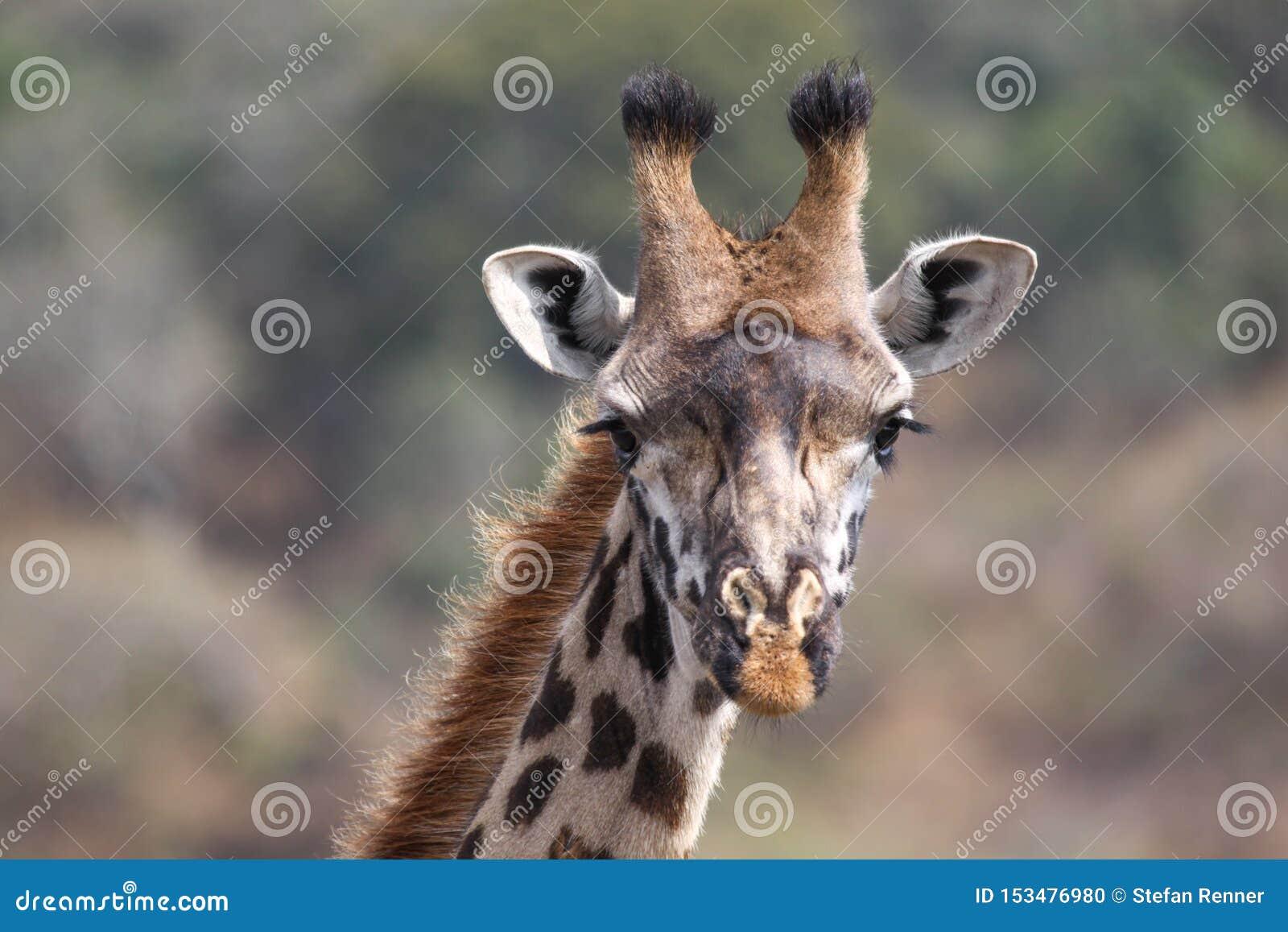 Giraffe κινηματογραφήσεων σε πρώτο πλάνο