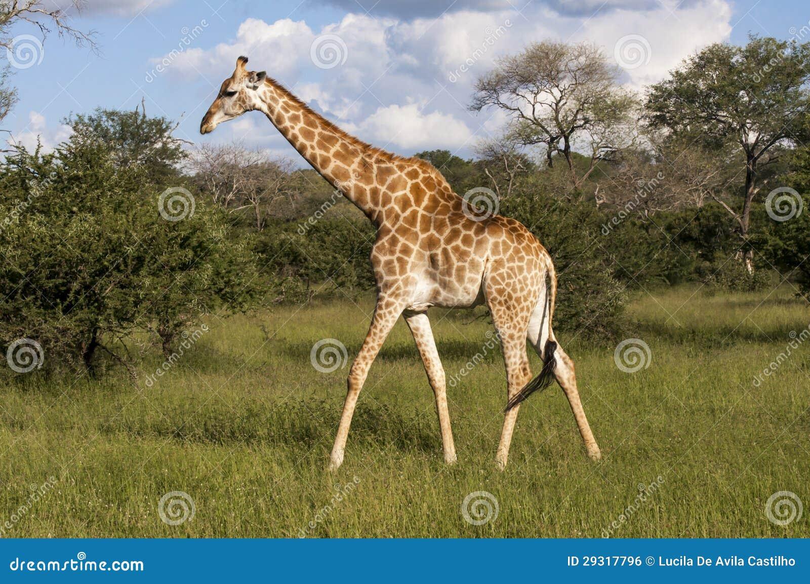 Giraffe στην αγριότητα στην Αφρική
