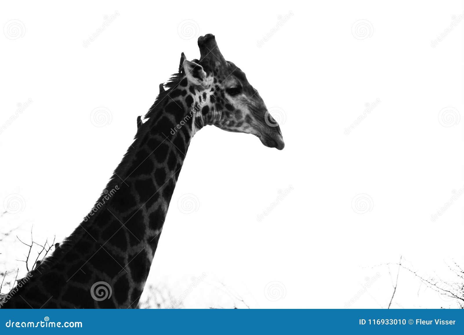Giraffe σχεδιάγραμμα, Limpopo