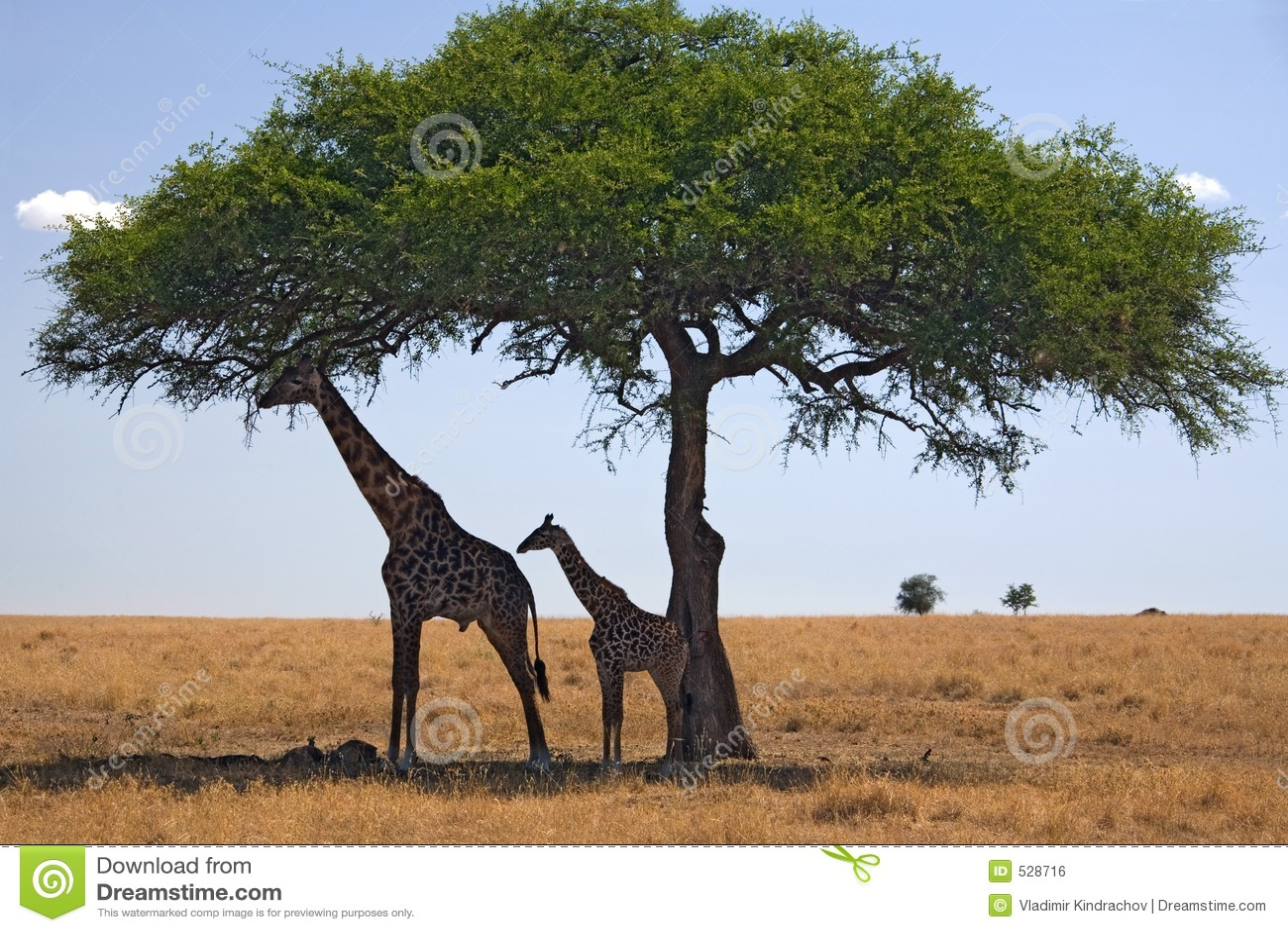 Giraffe 049 ζώων