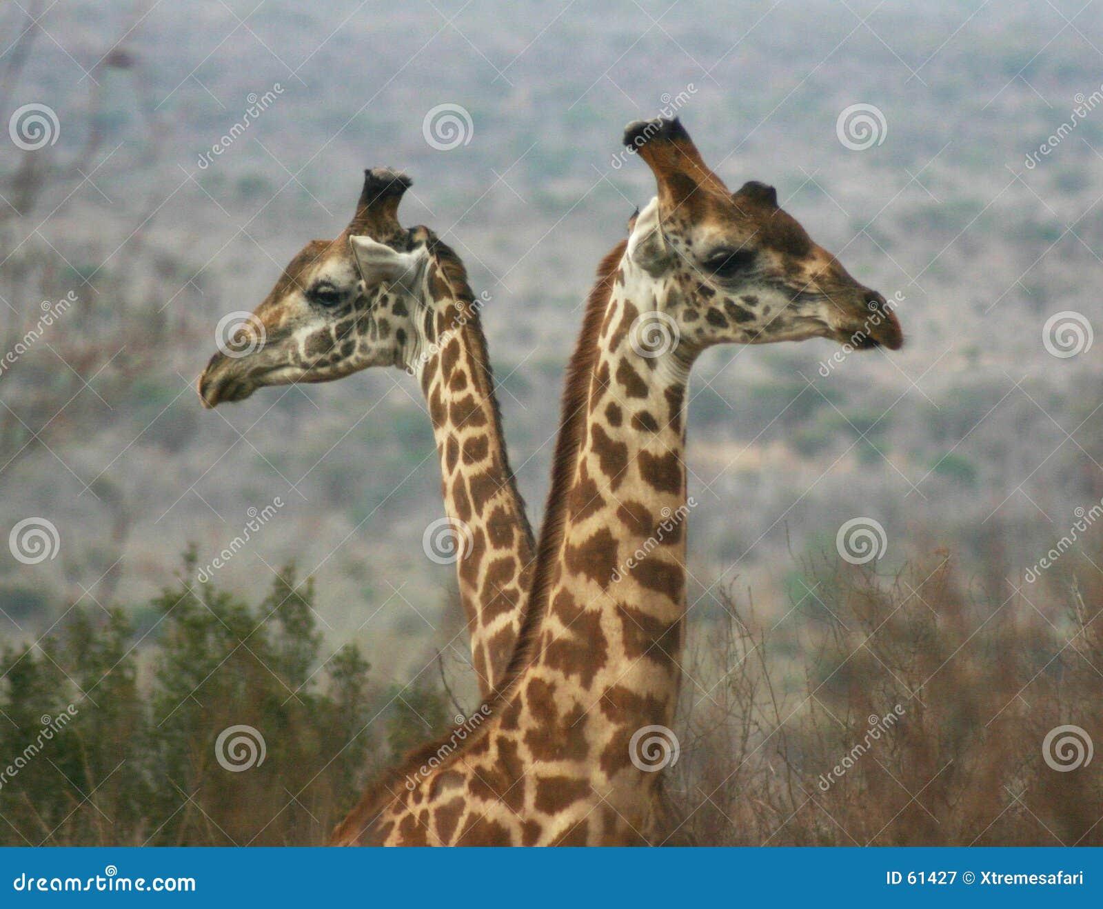 Download Giraffe 2 04 αγοριών στοκ εικόνα. εικόνα από αφρική, ανώνυμο - 61427