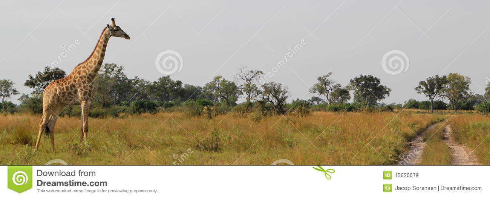 Giraffe africaine