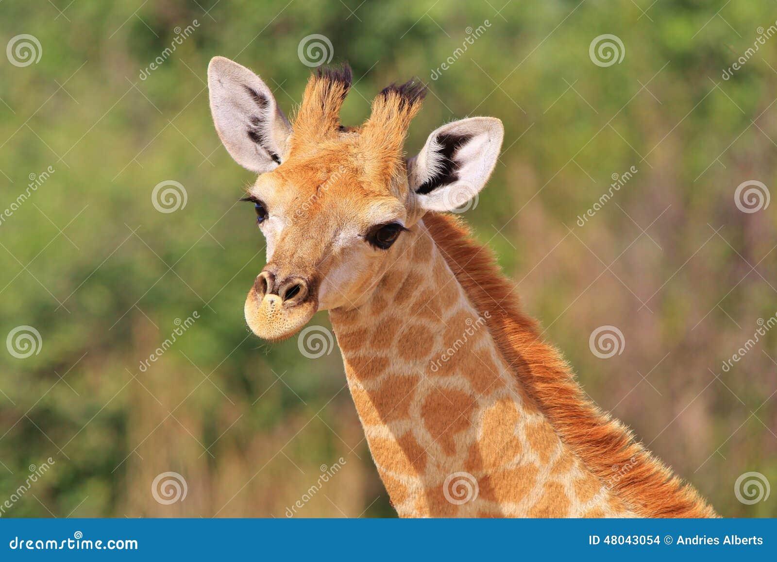 Giraffe African Wildlife Background Baby Animals Are