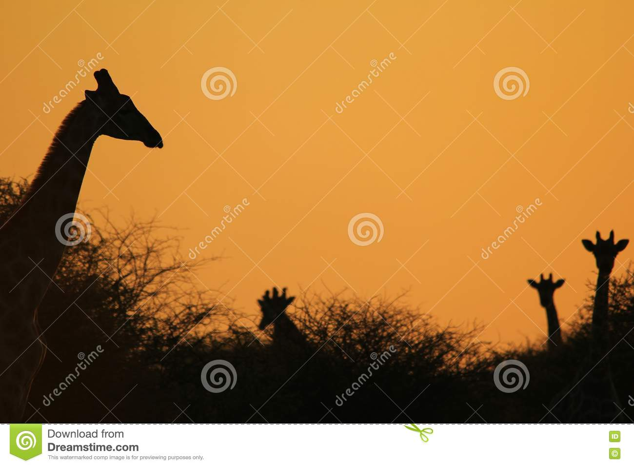 17ad47df1621e4 A small herd of southern African Giraffes pose in silhouette against a  tranquil