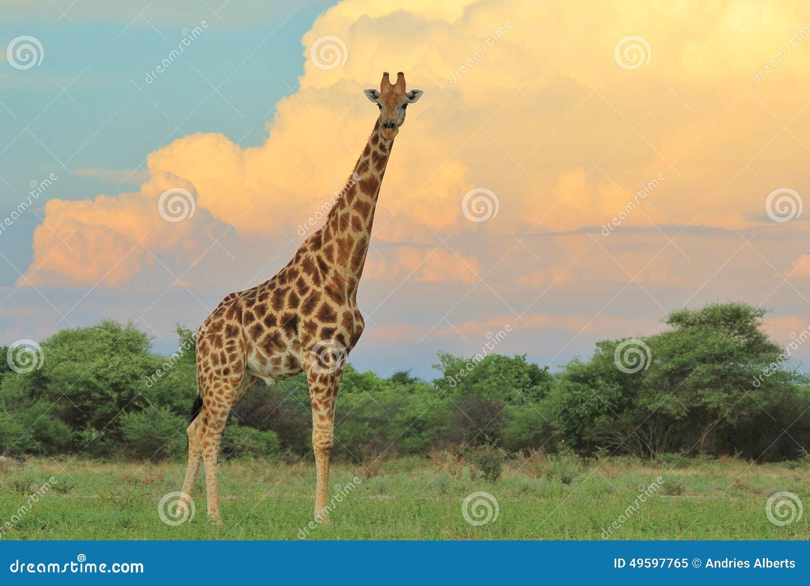 Ungewöhnlich Giraffe Färbung Seite Ideen - Malvorlagen Von Tieren ...