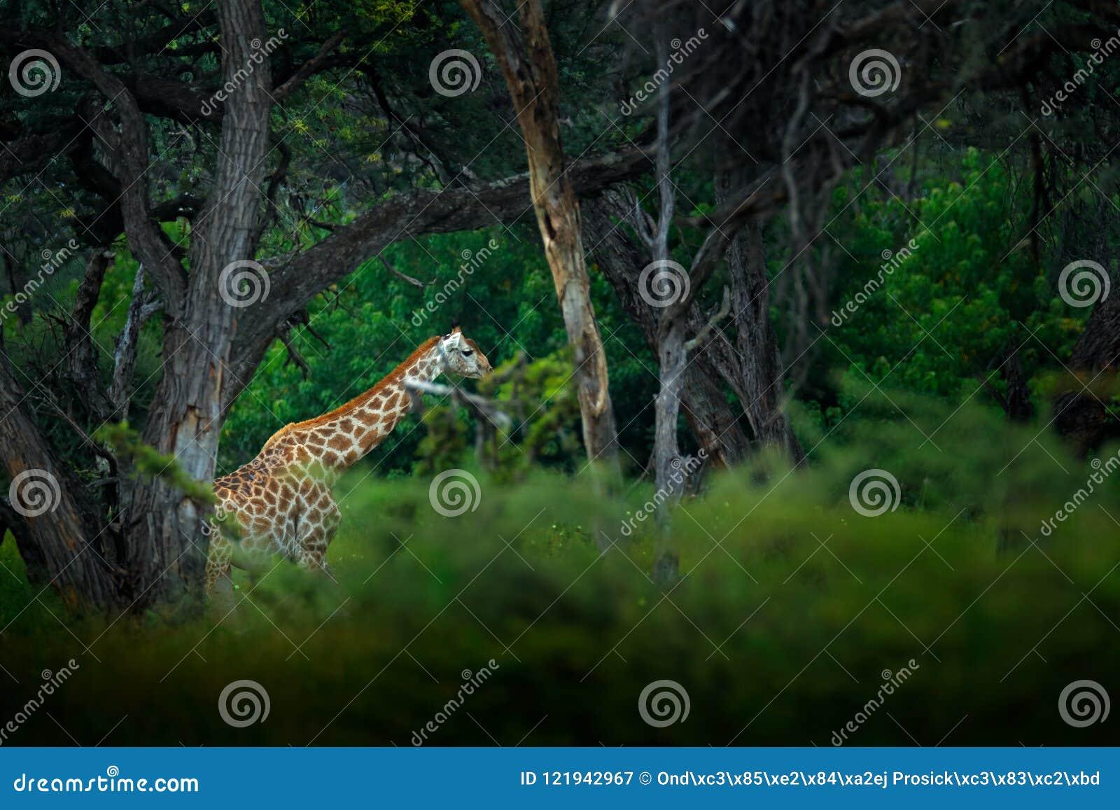 Giraffe In Big Tree Forest Habitat Landscape With Big Animal