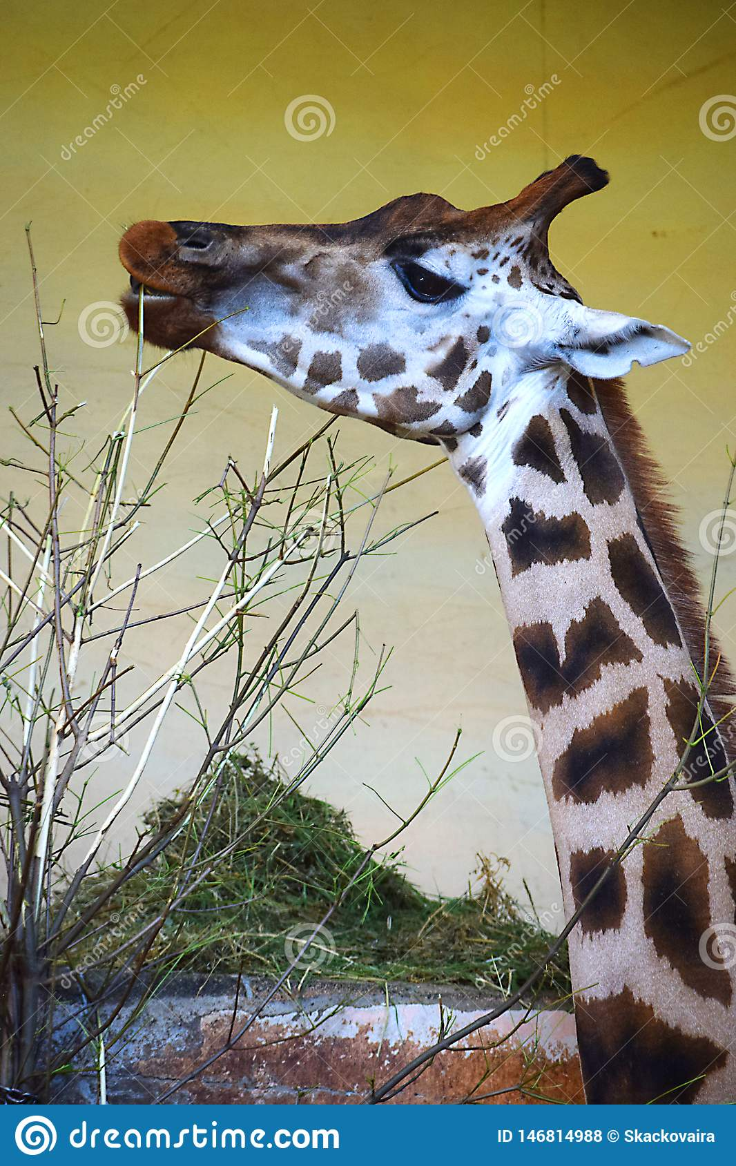 Giraffe with a branch at the zoo