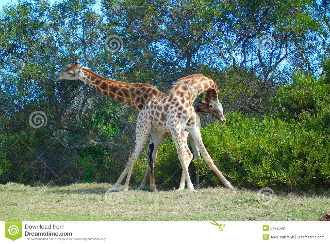 Two adult male giraffes fighting in a game park in South Africa.