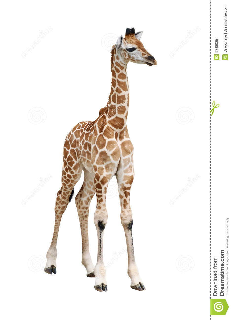 giraffe calf on white royalty free stock photo image old tree stump clipart free Black and White Clip Art Tree Stump