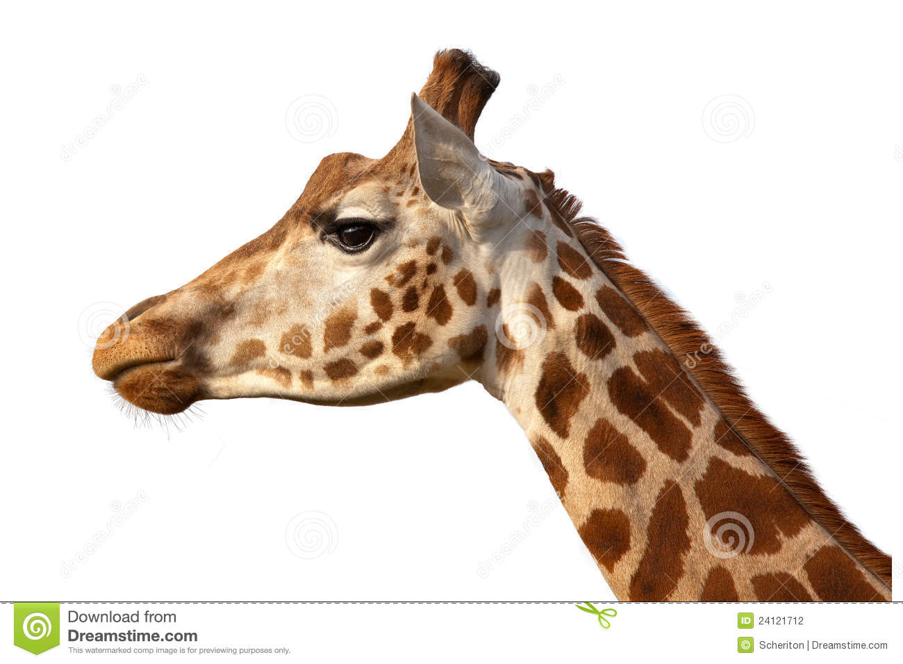 Giraffe head close up - photo#1