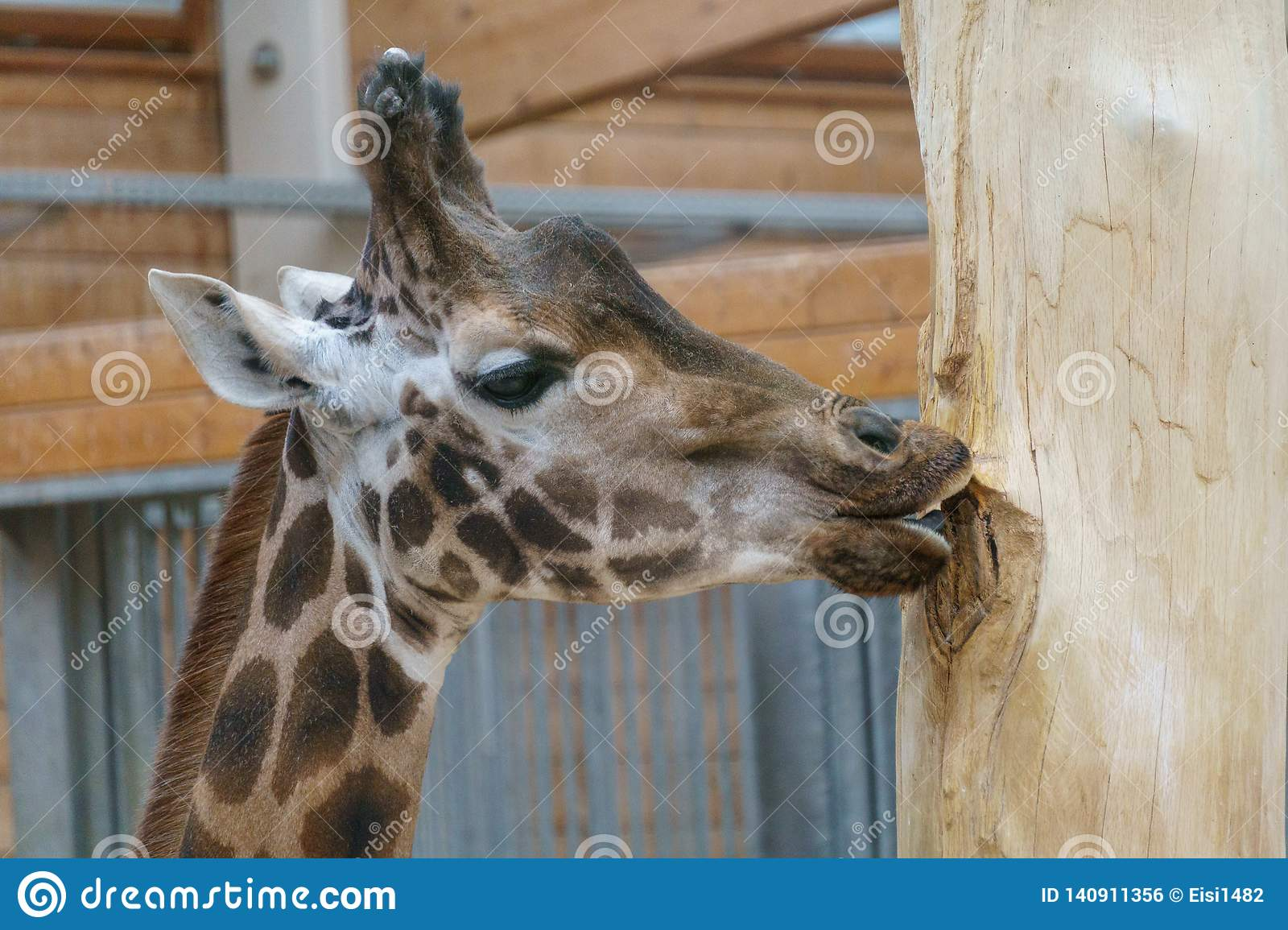 Giraffe chewing and licking at a tree