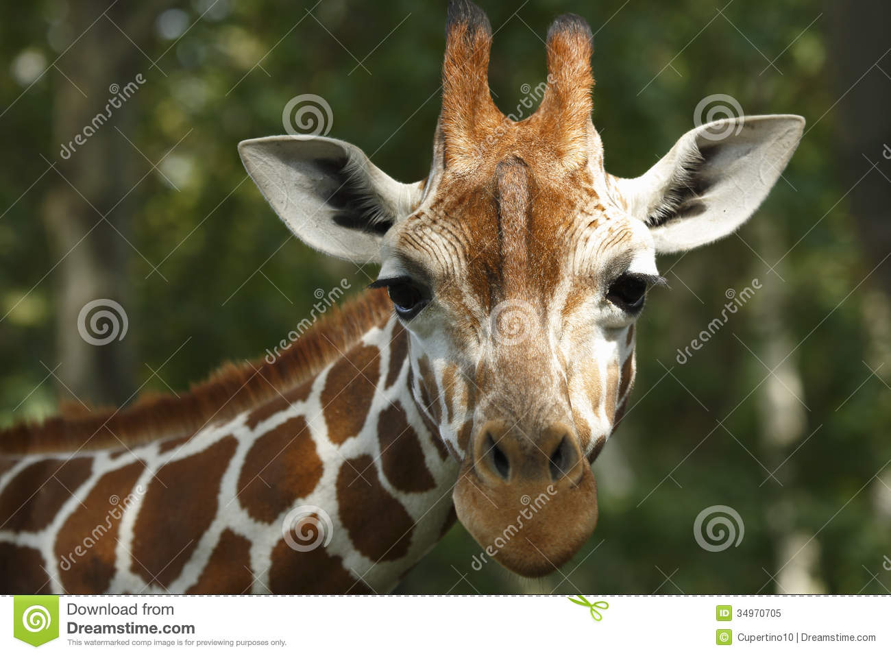 Giraffe Royalty Free Stock Photo - Image: 34970705