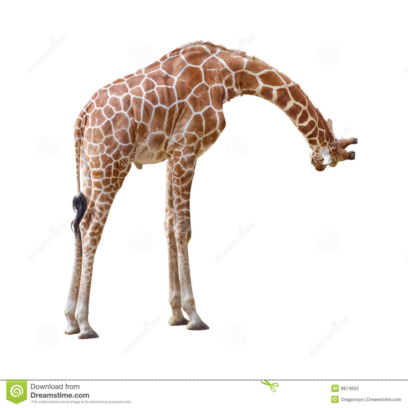 Giraffe Curiosity Cutout Stock Photo  Image 8874650. Excellent Accounting Resume Samples. Impressive Sample Resume Examples. Lackland Air Force Base Basic Training Graduation Dates. Free Printable Halloween Invitations For Adults. Federal Direct Graduate Plus Loan. Business Startup Checklist Template. Public Relations Plan Template. Christmas Mailing Labels Template
