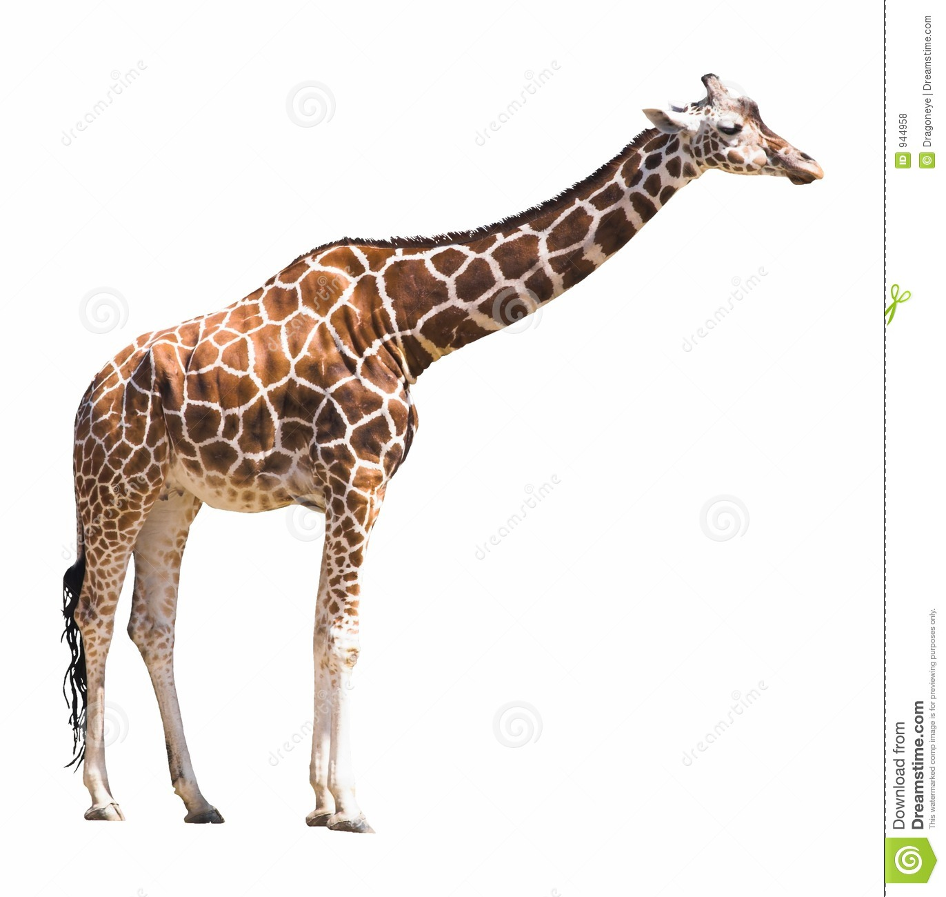 African giraffe isolated on white with clipping path.For more isolated ...