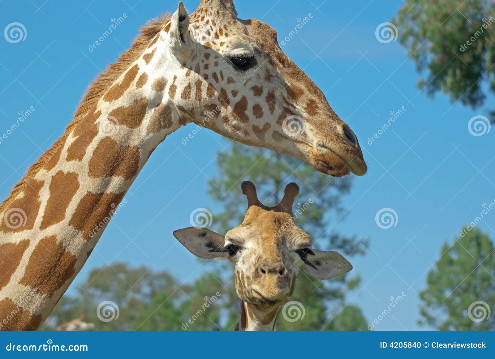 Giraffe da matriz e do bebê