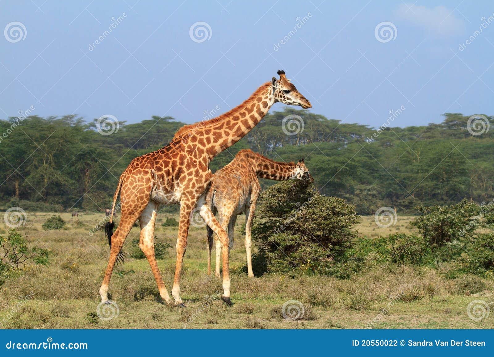 Giraffe de Rothschild em Kenya