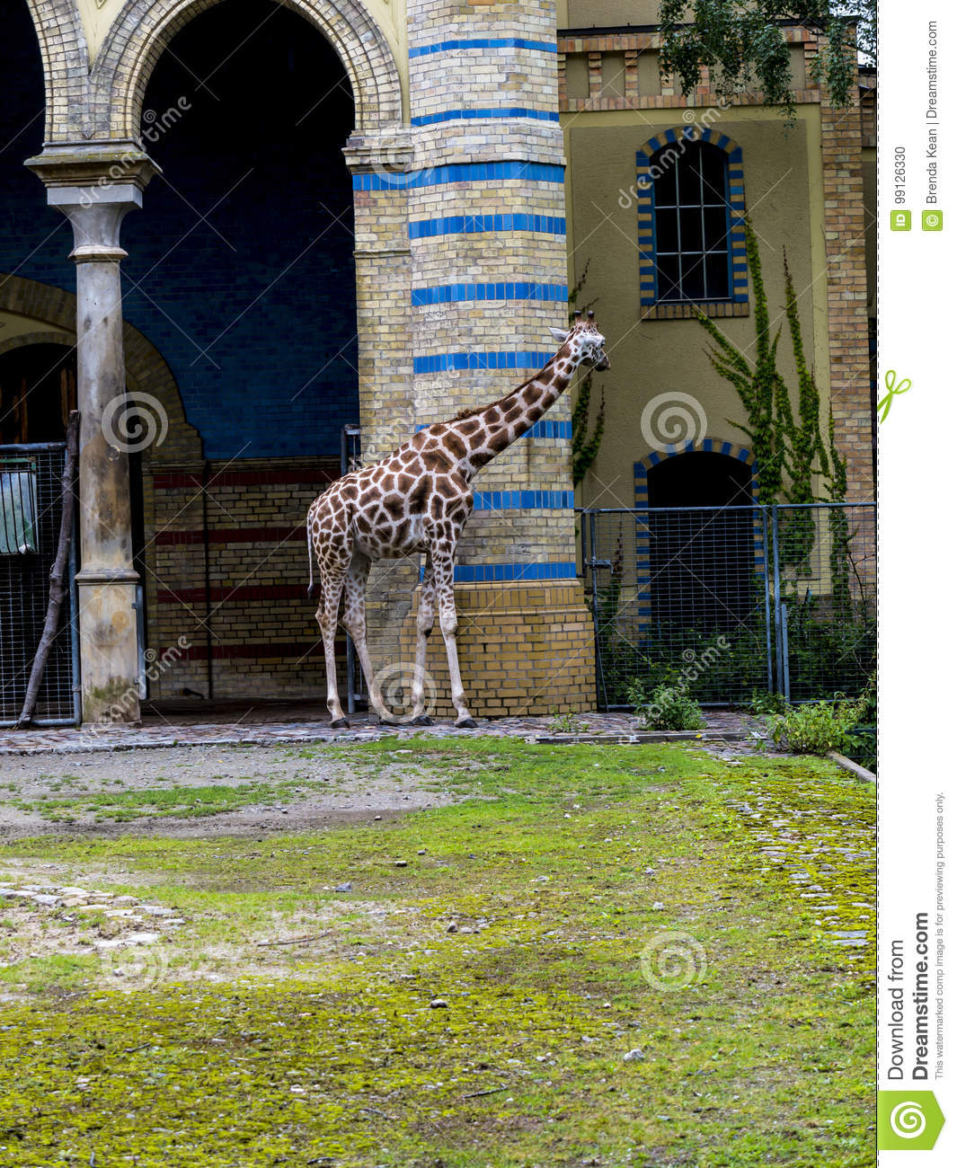 giraffe in den zoologischen g rten und aquarium in berlin germany berlin zoo ist der besichtigte. Black Bedroom Furniture Sets. Home Design Ideas