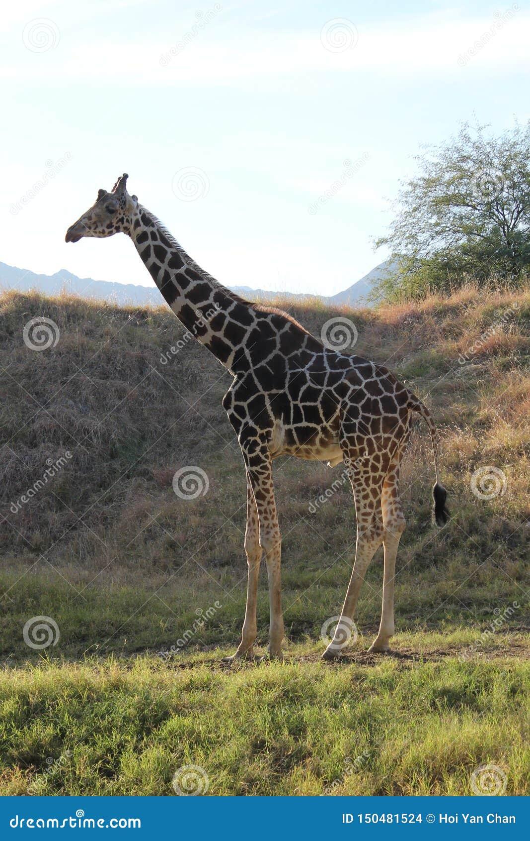 Giraffe, die auf dem Gras stillsteht