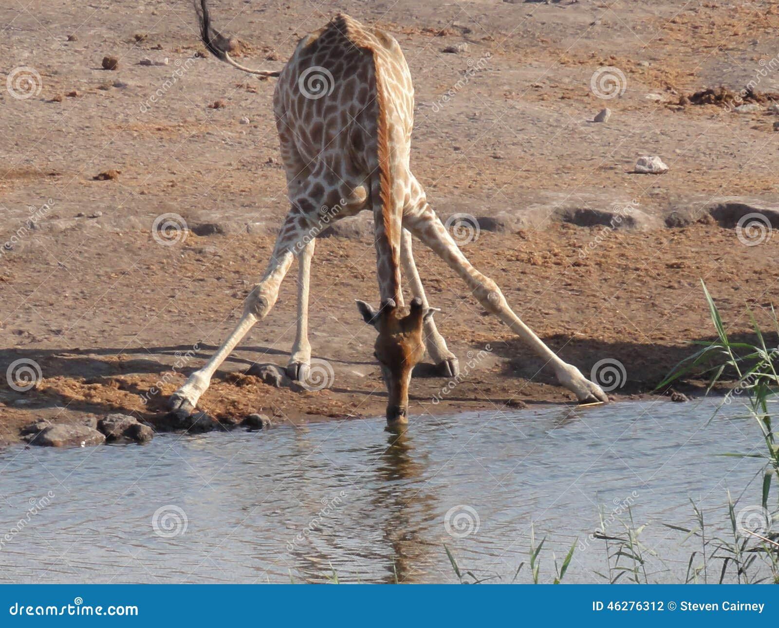 Giraffe, die von der Oase trinkt