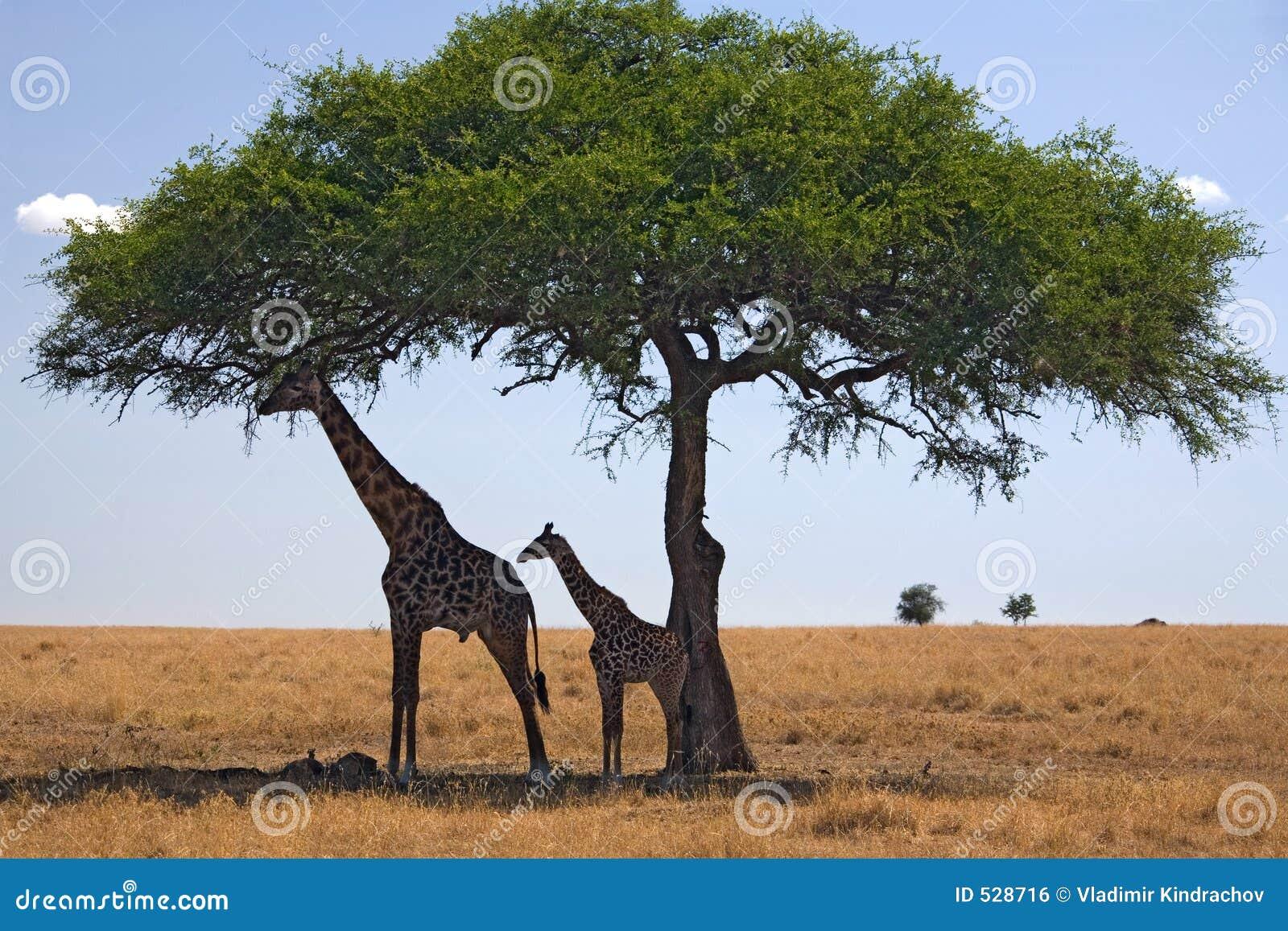 Giraffe dos animais 049