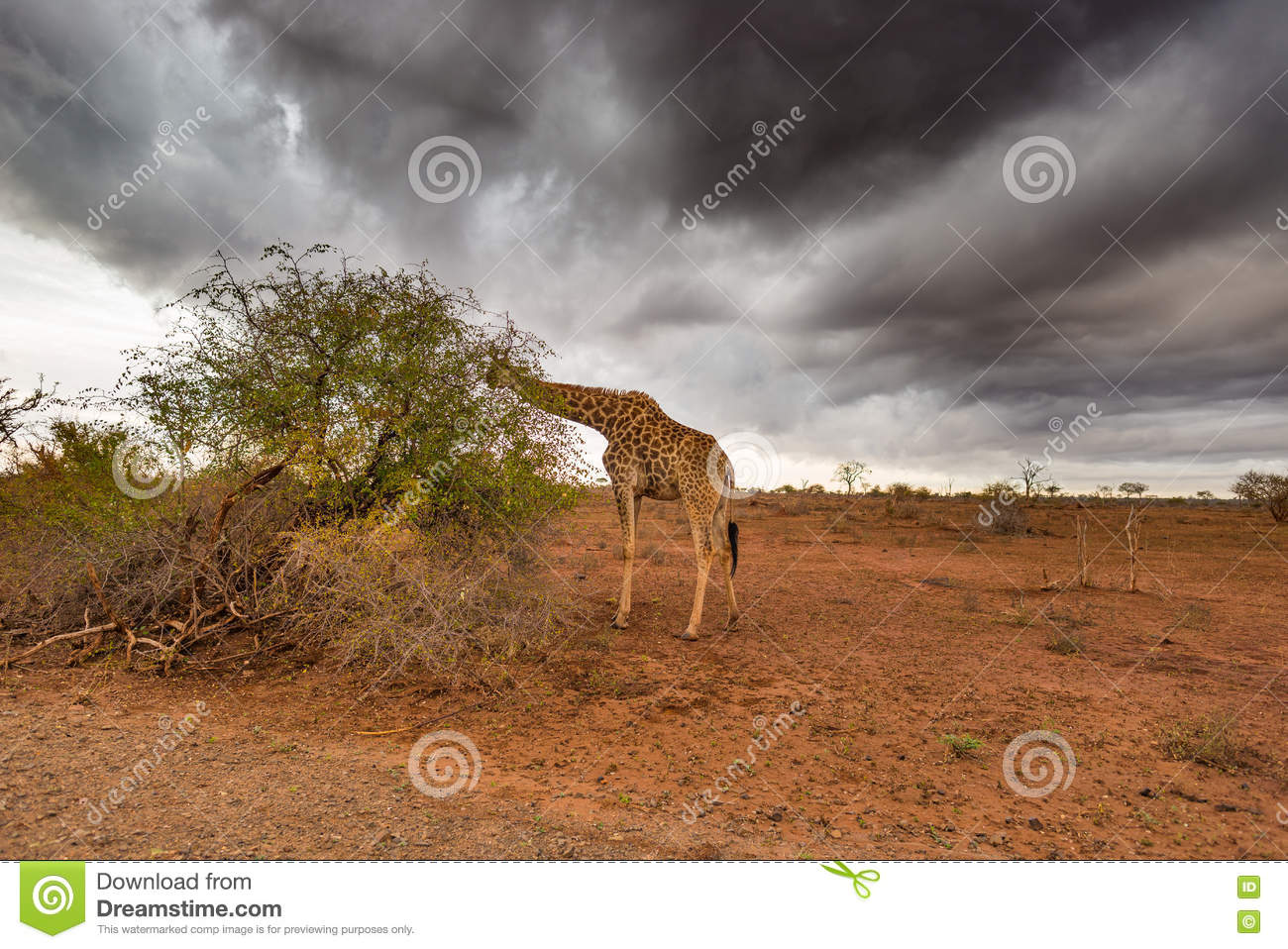 Giraffe eating from Acacia tree in the bush, dramatic stormy sky. Wildlife safari in the Kruger National Park, major travel