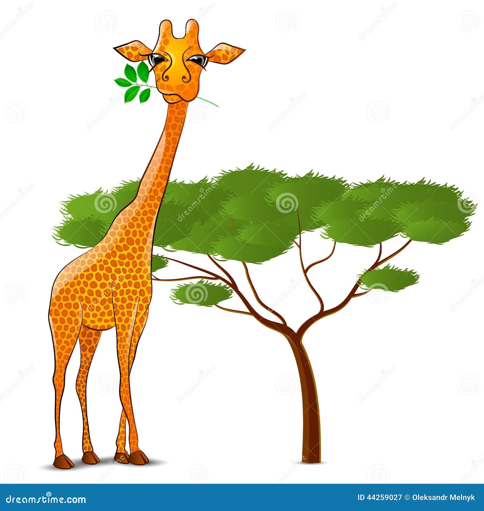 Giraffe Eating Leaves In Africa Isolated Stock ...