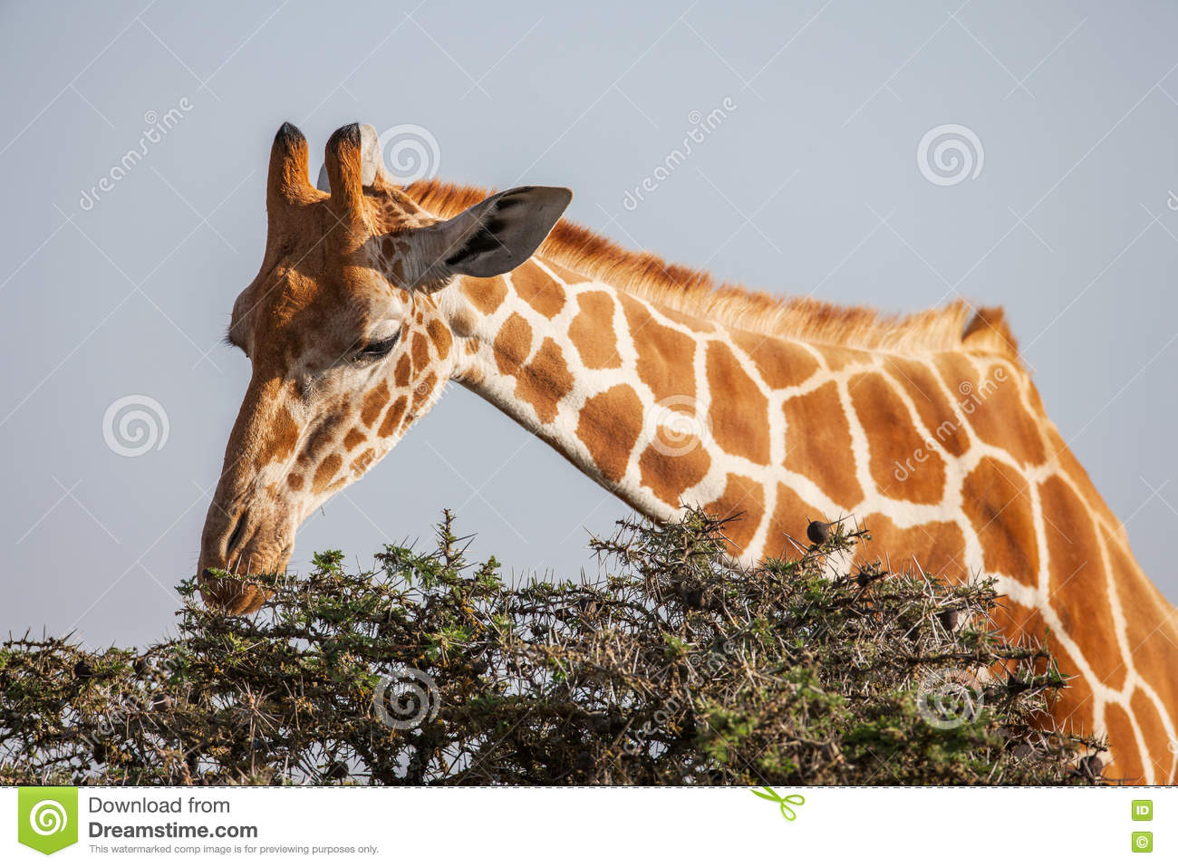 Giraffe eating leaves from tree top. Close up