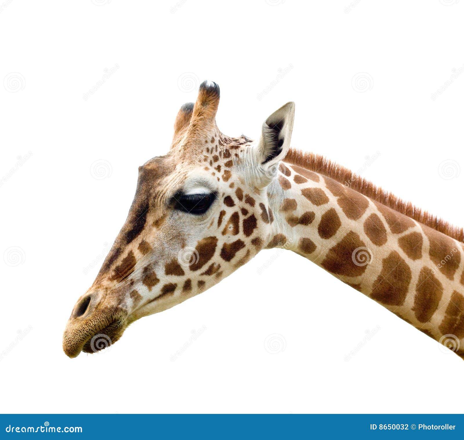 Giraffe en Afrique