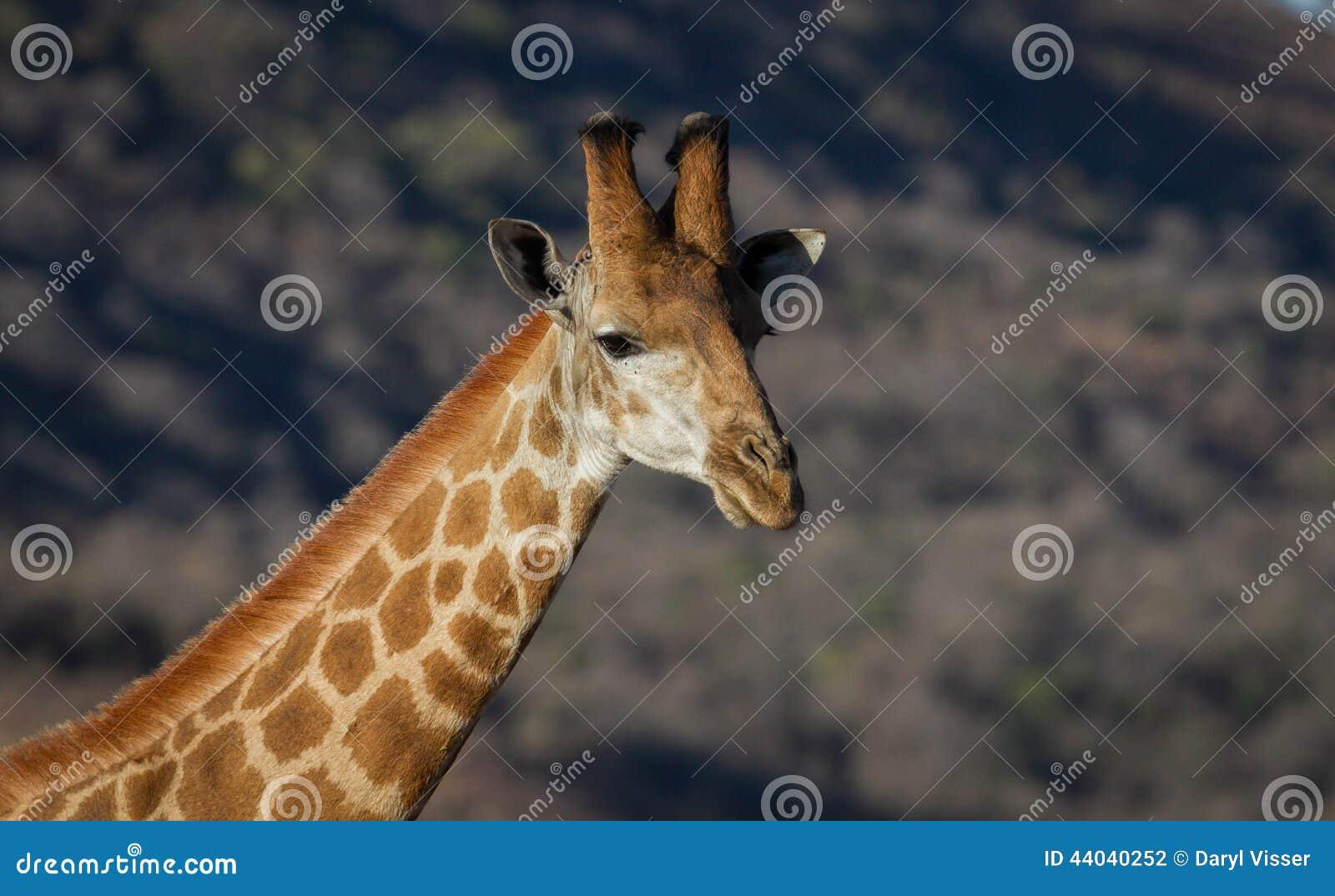 Giraffe en Afrique du Sud