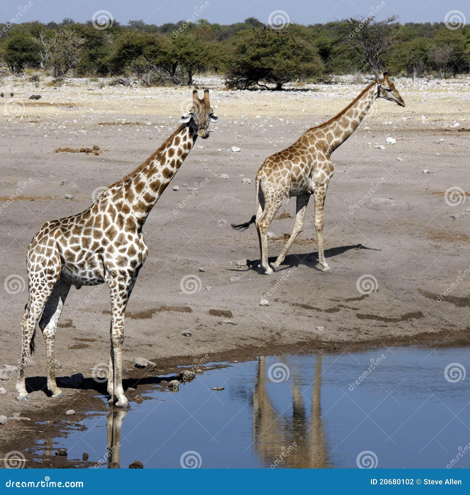 Giraffe - Etosha National Park - Namibia