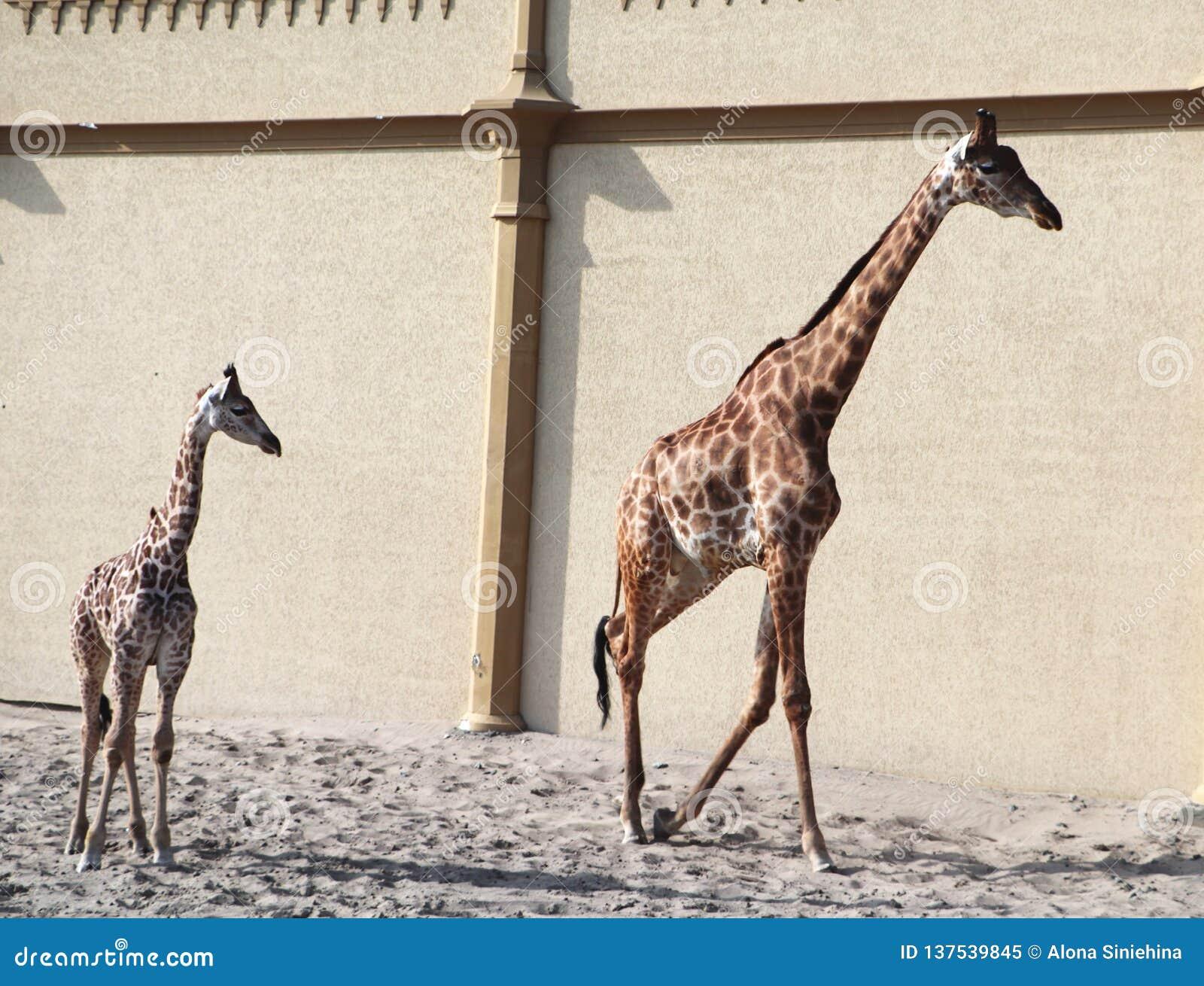 Baby giraffe. Wild nature. Giraffe at the zoo