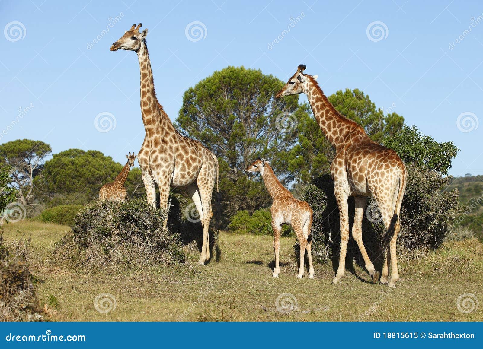 Giraffe family African bush