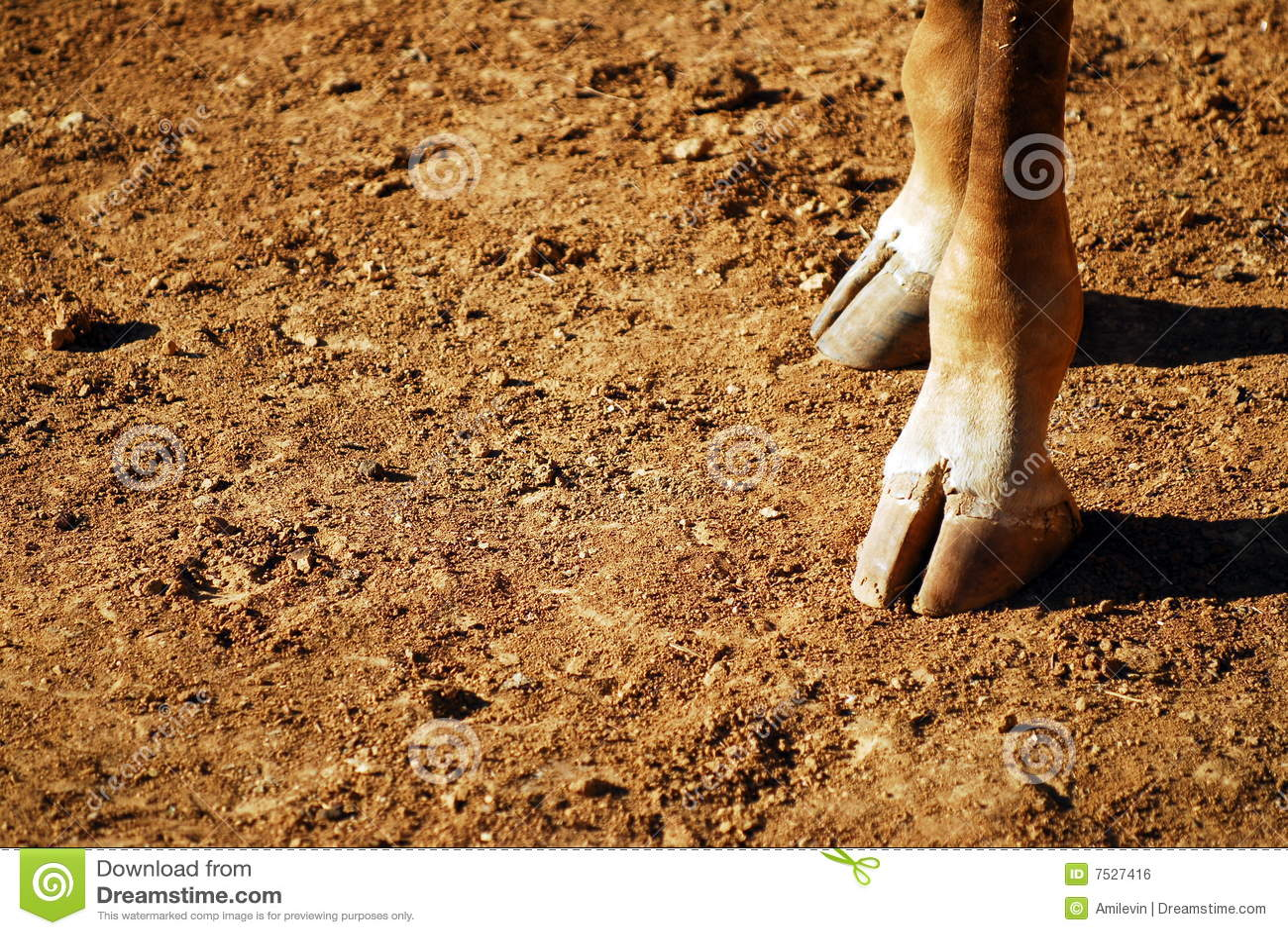 giraffe feet royalty free stock image