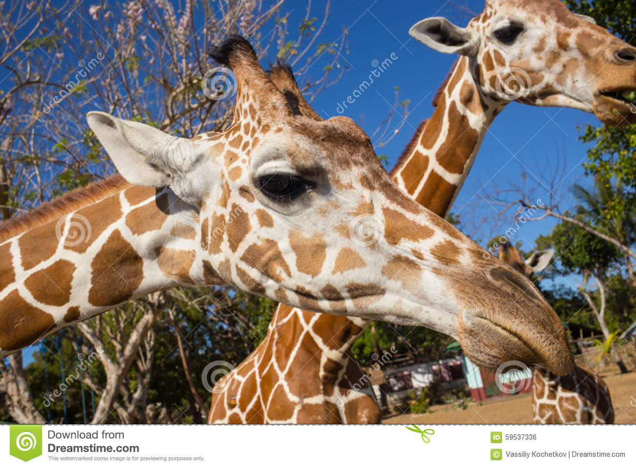 Photos and pictures of: Maasai giraffes in front of Mount