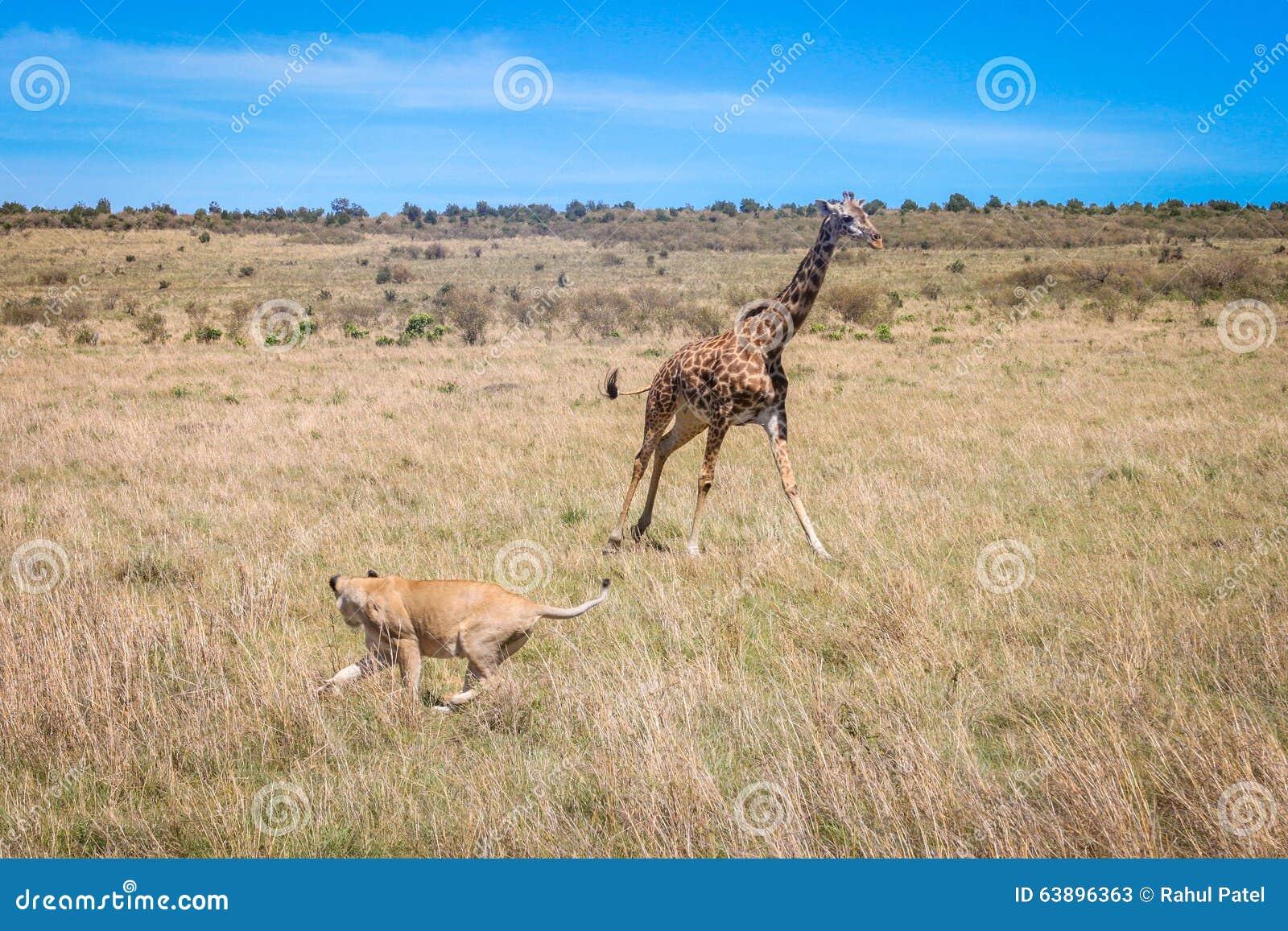 Giraffe gegen löwin