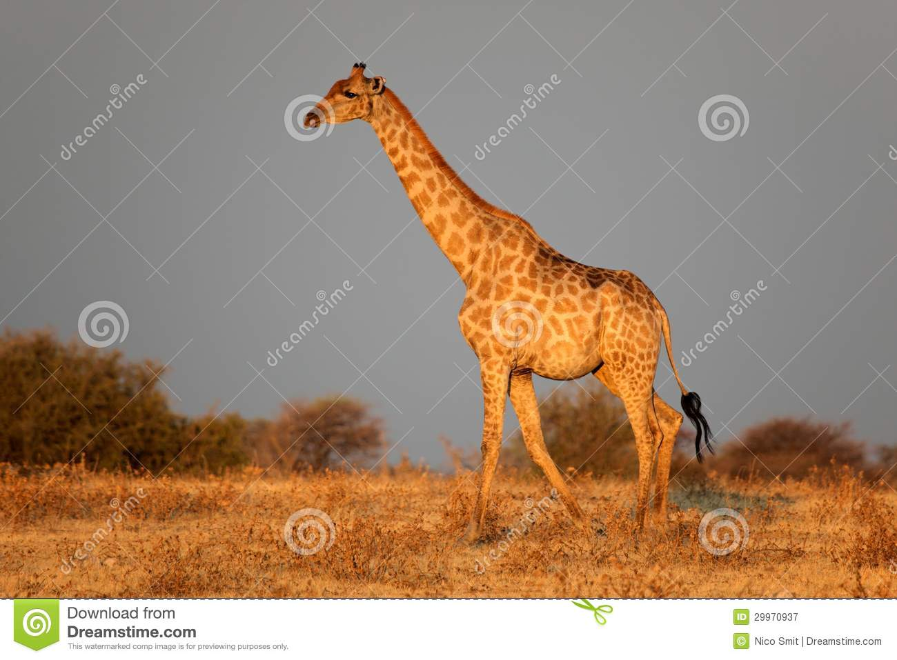 ecology of giraffa camelopardalis essay Committee of tropical ecology issn 1653-5634 uppsala university  (giraffa camelopardalis)  documents similar to no title skip carousel.