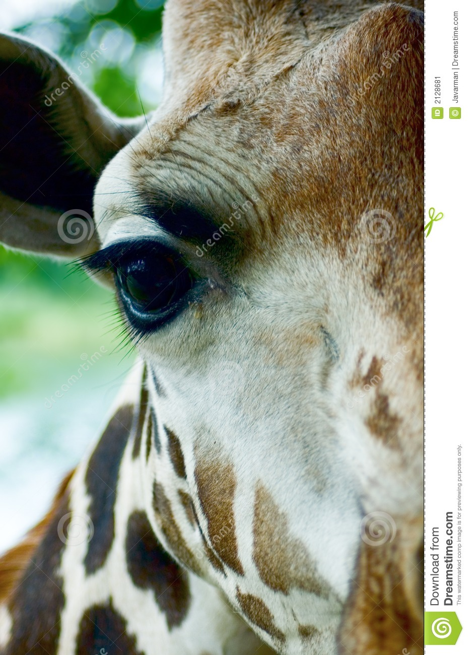 Giraffe head close up - photo#15