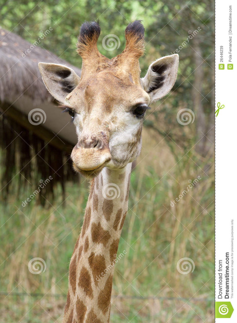 Giraffe head close up - photo#17