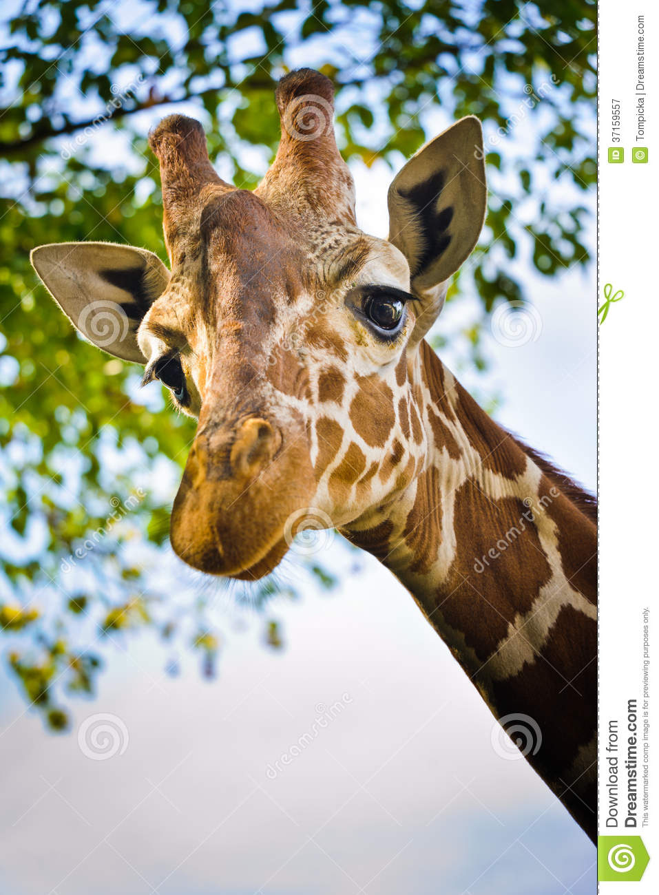 Giraffe head close up - photo#26